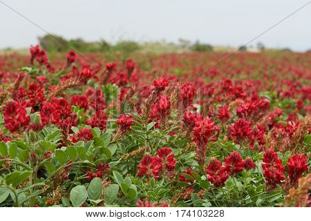 Blossom lupine field background on sunny day on spring in Malta, red lupine field, maltese landscape, maltese nature, red flowers field, Malta, typical maltese flora, maltese flora