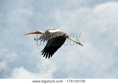 Flying breeding Painted Stork seen from below at an angle, marsh , Thailand.