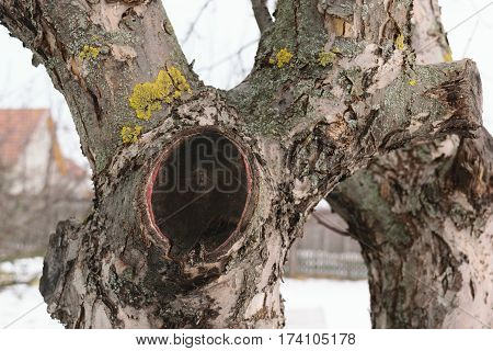 Apple tree cut branch - healed over time