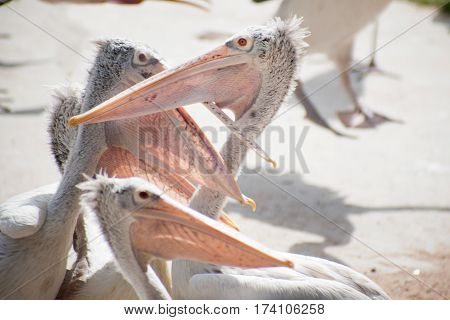 Several Spot-billed pelicans in a zoo Thailand.