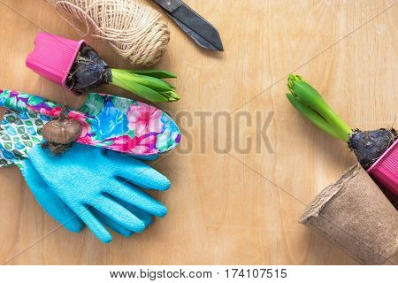 Gardening concept. Seedling hyacinth garden tools scissors twine shopping paper bag tubers-bulbs gladiolus. Copy space. Seasonal gardening. Top view. Spring background.