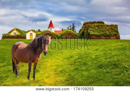 Sleek Icelandic horse grazes on a green lawn. Rural pastoral. Ethnographic Museum-estate Glaumbaer, Iceland. The concept of the historical and cultural tourism