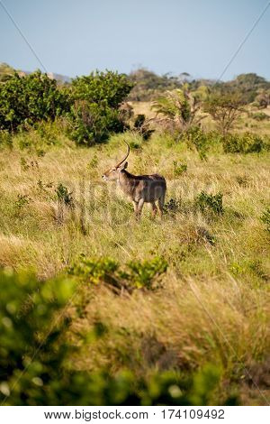 In South Africa     Wildlife   Impala