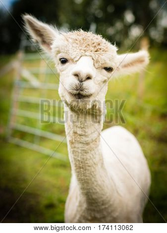 Portrait of a beautiful white alpaca outside