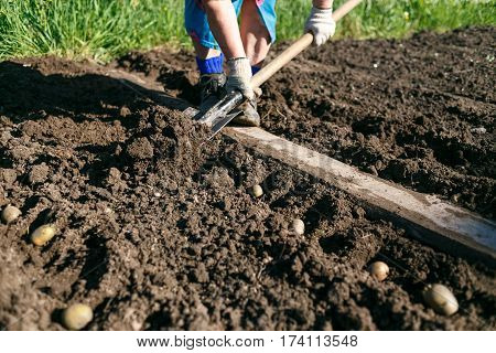 Woman Planting Potatoes in the Country Dacha.