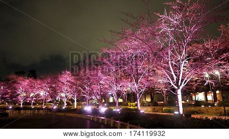 Pink Sakura Or Cherry Blossom At Night In Roppongi Tokyo Midtown.