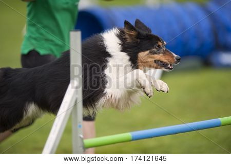 Obedient dog flying over obstacle on agility competition. Dog is in motion jumping high enough to be successful. He has concentrated expression and looking to the next exam.