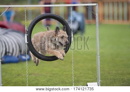 Purebred dog Belgian shepherd Laekenois jumping through an agility hoop.