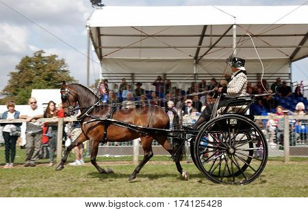 NEWBURY, UK - SEPTEMBER 21: Driver and horse competing in the gig driving class pass the main arena stand for the public to view at the Berks County show on September 21, 2014 in Newbury