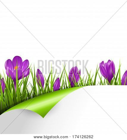 Green grass lawn with violet crocuses and wrapped paper sheet isolated on white. Floral nature spring background