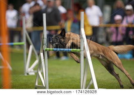 Dog trying to jump over obstacle on agility competition. He is very close to the hurdle with front legs. It is important to have the right speed and style. Dog must run as fast as he can but precise with all exercises what they get with training and drill