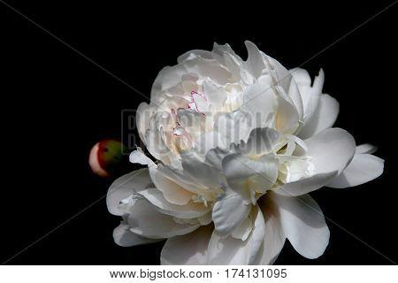 Big Magnolia flower against black background