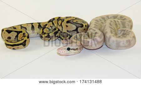 Two Baby Royal / Ball Pythons from the same batch of eggs, one flesh coloured and one yellow and black, on a white background.