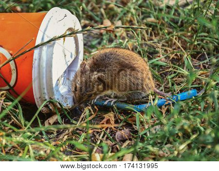Little rat eating remains on thrown on the ground plastic cup
