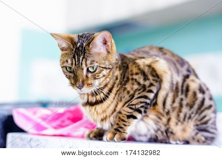 cute beautiful Bengal cat set on the table.