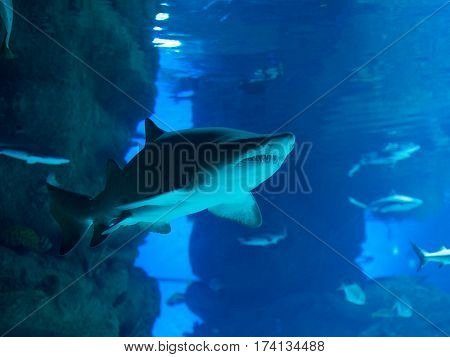 aggressive shark with teeth swims in huge aquarium