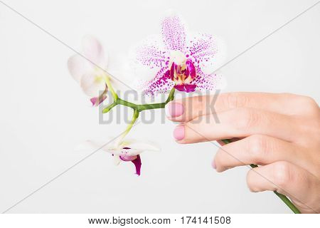 Closeup of female hands holding branch of beautiful orchid flowers isolated on white background. Nail with french spring manicure. Horizontal color photography.