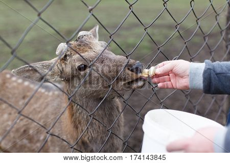 Male feeds young fawn over the net from a bucket