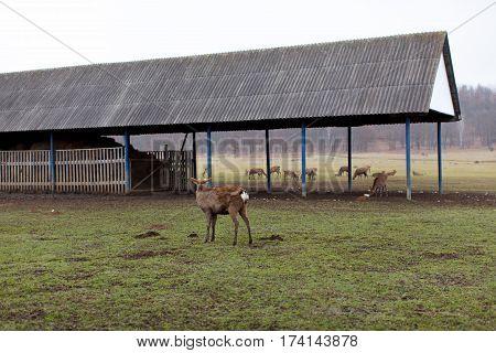 Deers walking in the territory of a deer farm
