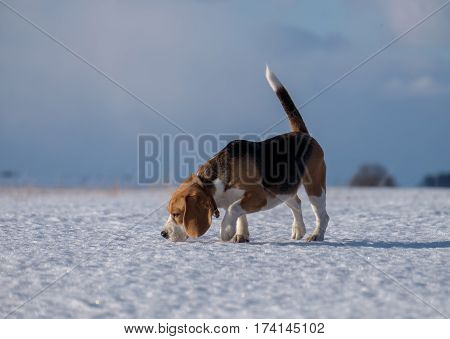 Beagle dog running in the snow on a cold sunny day