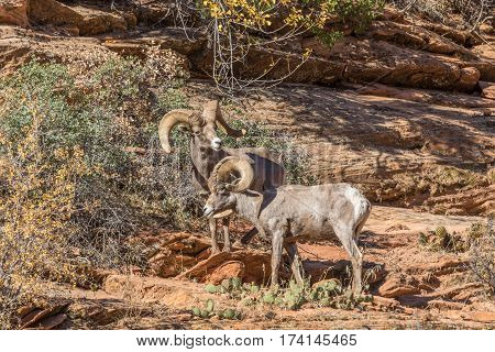 a pair of desert bighorn sheep rams face off during the fall rut