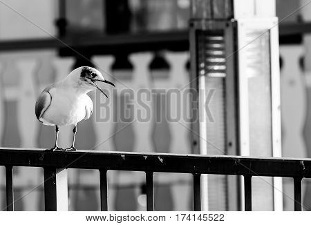 Squawking seagull sitting on a railing on the harbor promenade in Hamburg. The picture is monochrome.