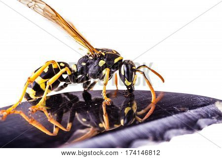 Wasp On The Edge Of A Knife