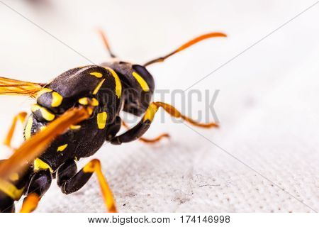 Wasp On Fabric