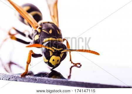 Wasp On A Metal Surface Closeup