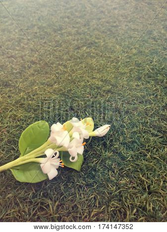 Plumeria flowers lying on the grass (Other names are frangipani Apocynaceae Nerium oleander white plumeria Leelavadee Lunthom)