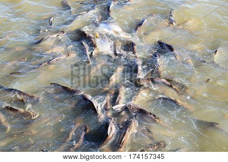 Catfish in the river swim without fear.