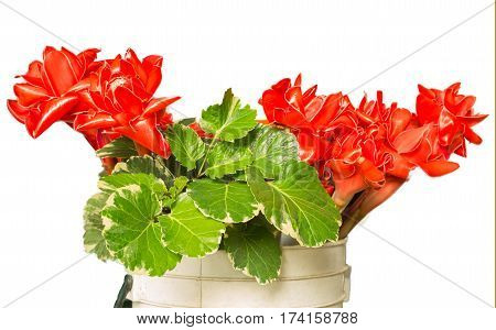 Torch Ginger flower isolate white background, herb