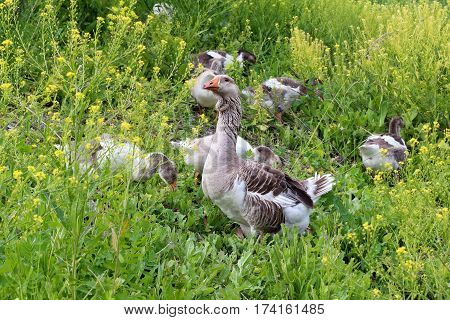 Flock of domestic geese walking on pasture in summer. Rural scene.