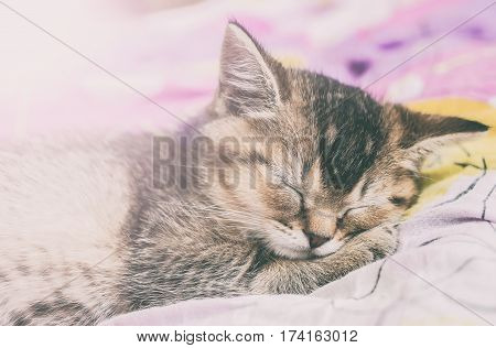 small pretty kitten British golden chinchilla ticked sweetly sleeps on colorful bedsheet