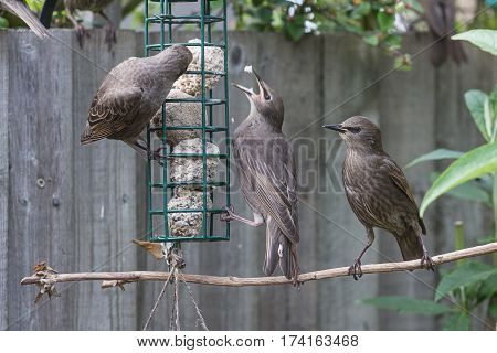 photo of a group of fledgling starling at a bird feeder with two feeding and one waiting it's turn