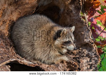 Raccoon (Procyon lotor) Looks Right from Inside Log - captive animal