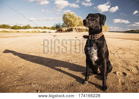 Black dog in the nature. Beautiful summer landscape. The bright clear blue sky with white clouds. Dog sit on yellow sand on the beach. Water surface. The river on the plain. Green foliage. Dog on wild nature.