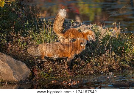 Red Foxes ( Vulpes vulpes) Tussle for Space - captive animals