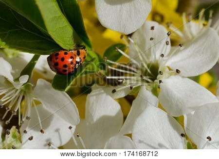 Ladybugs mating in floral outdoor setting.  Beautiful open blossoms on flowers.