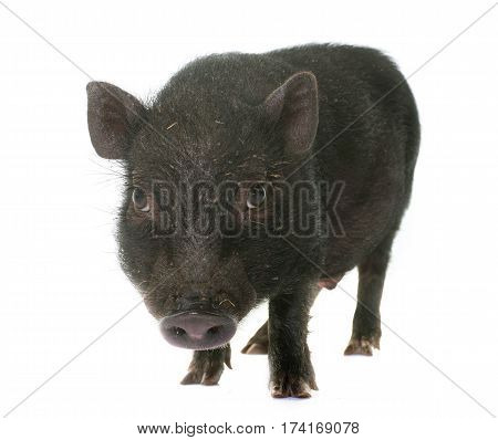 black piglet in front of white background