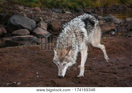 Grey Wolf (Canis lupus) Walks Foward Sniffing - captive animal