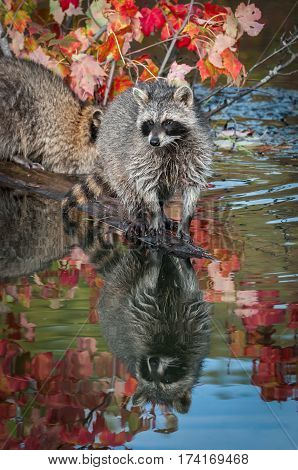 Raccoon (Procyon lotor) Stands at End of Log - captive animal