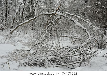 Aftermath of ice storm the rain forest. Winter in Russia.