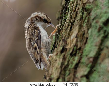 Tree creeper find insects in the bark - Certhia familiaris