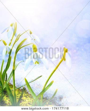 art Snowdrops flowers in the snow Thaw; spring floral background