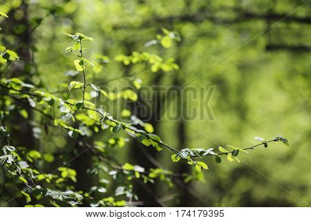 Juicy szelenye leaves on the trees. Spring landscape. The sun shines brightly in the clear blue sky. Snowdrops on the ground. White spring flowers. Beautiful trees
