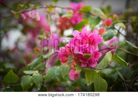 Pink Blooming  Rhododendron
