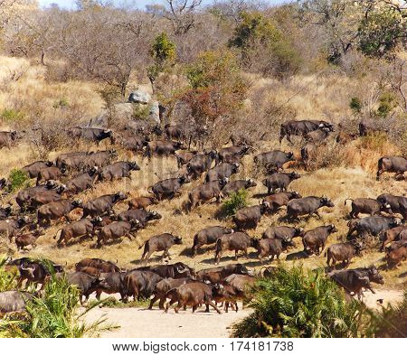 a herd of running african buffalos in a dry river bed and bush of south africa