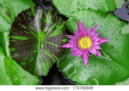 A lotus blossom floating in a pool covered with lily pads