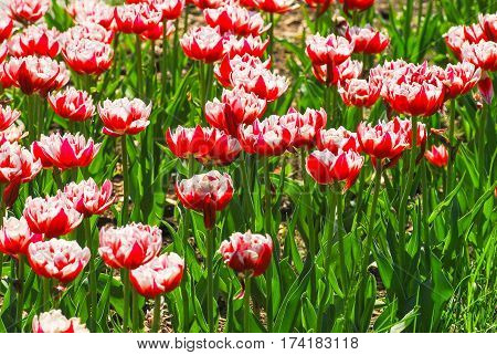 The background of beautiful Terry red-white tulips
